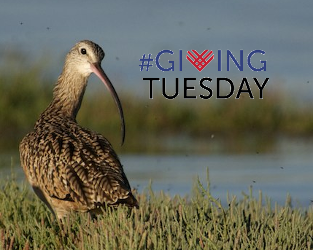 Help us Raise $10,000 for the Long-billed Curlew and Other Birds at Risk