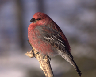 "Great Backyard Bird Count Should Be ""Finchy"" and Fun"