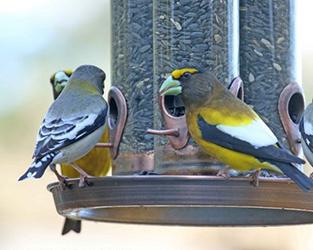 Pourquoi participer à Projet Feederwatch? Nous avons perdu 1 oiseau sur 4 depuis 1970.