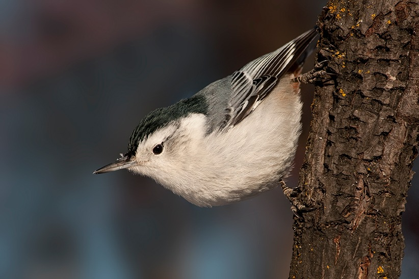 White-breasted Nuthatch clinging to a tree