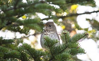 Unravelling the mystery of the Bicknell's Thrush in New Brunswick's mountain forests