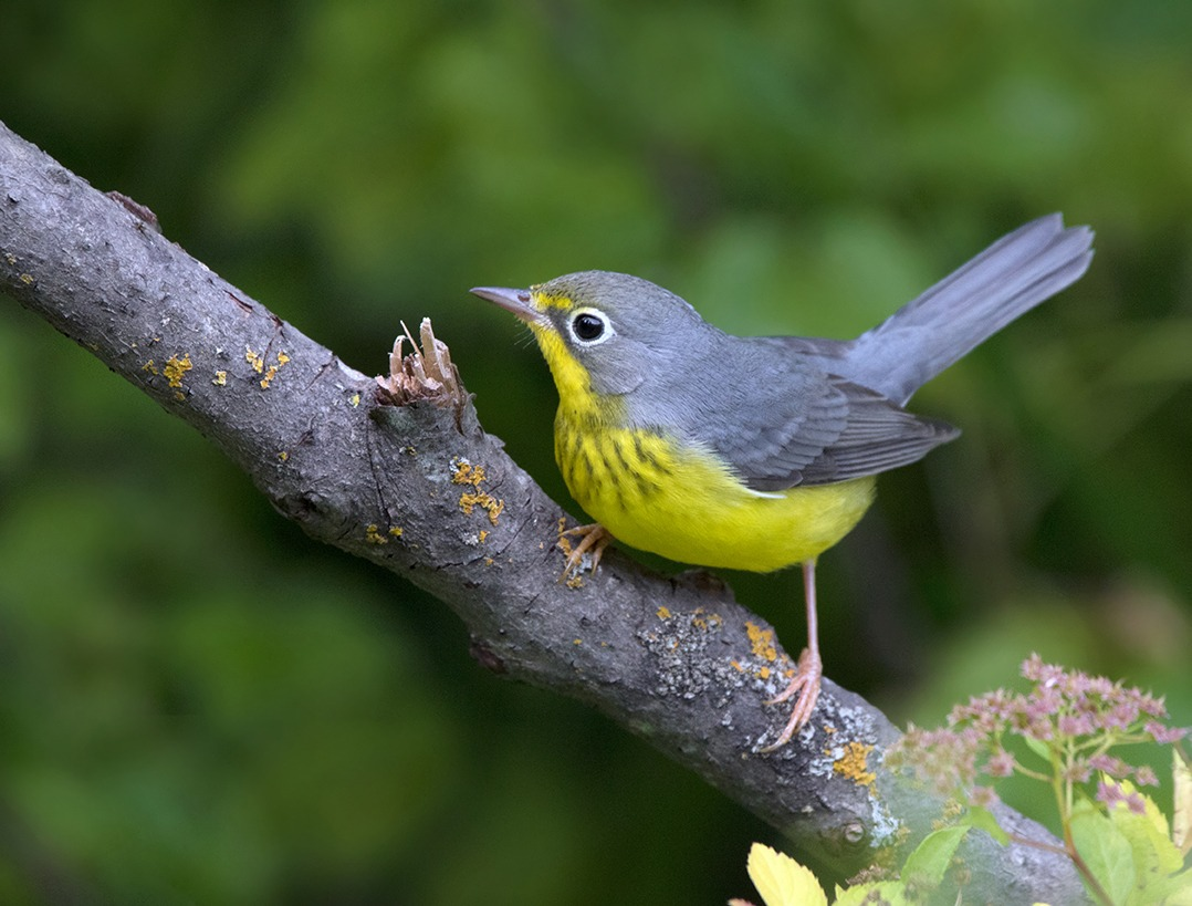 Adult female or immature male Canada Warbler perched on a branch in the greenery
