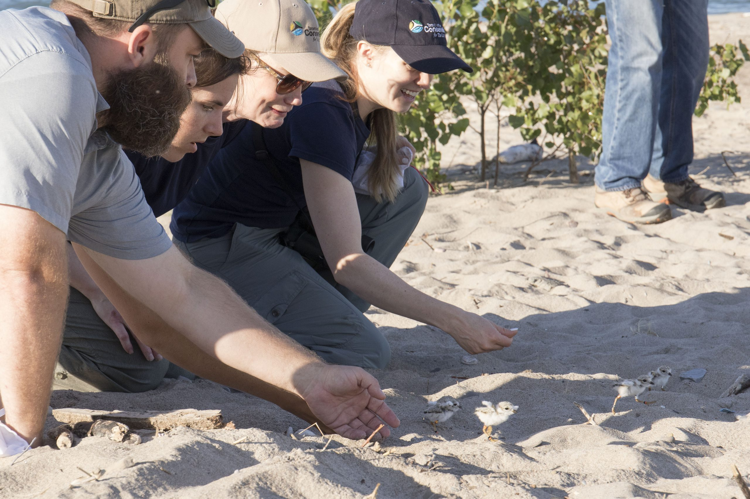 volunteers release newly banded Piping Plover chicks