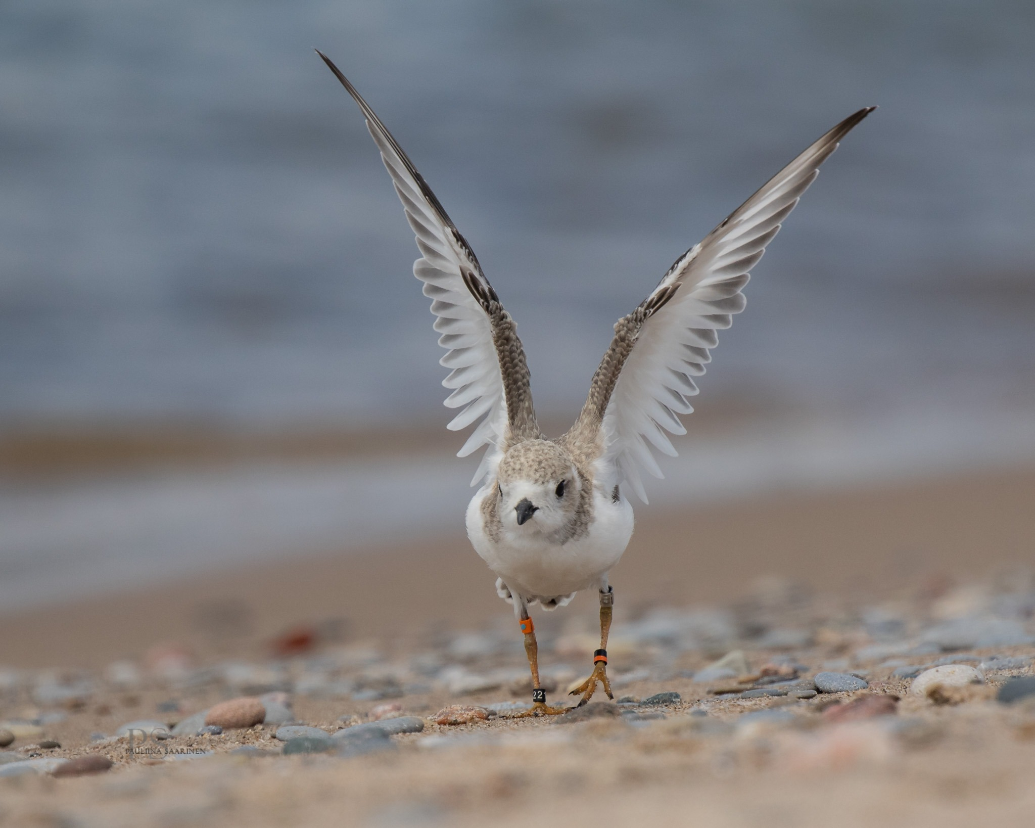 Ontario Piping Plover Conservation Program