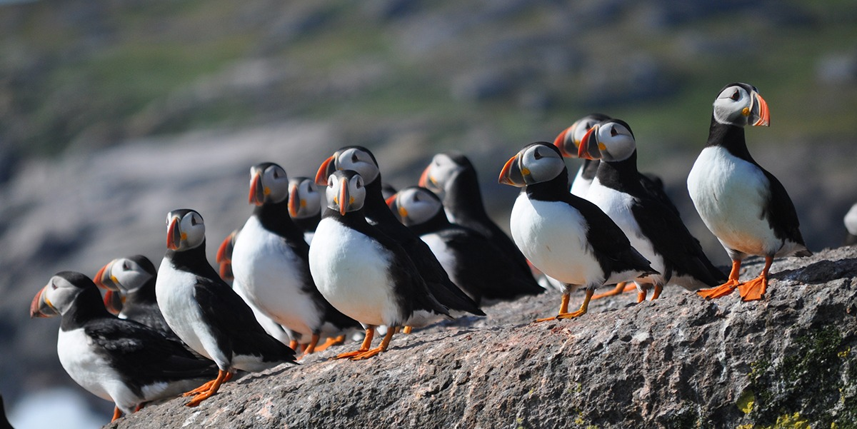 A rock full of Atlantic Puffins in Newfoundland