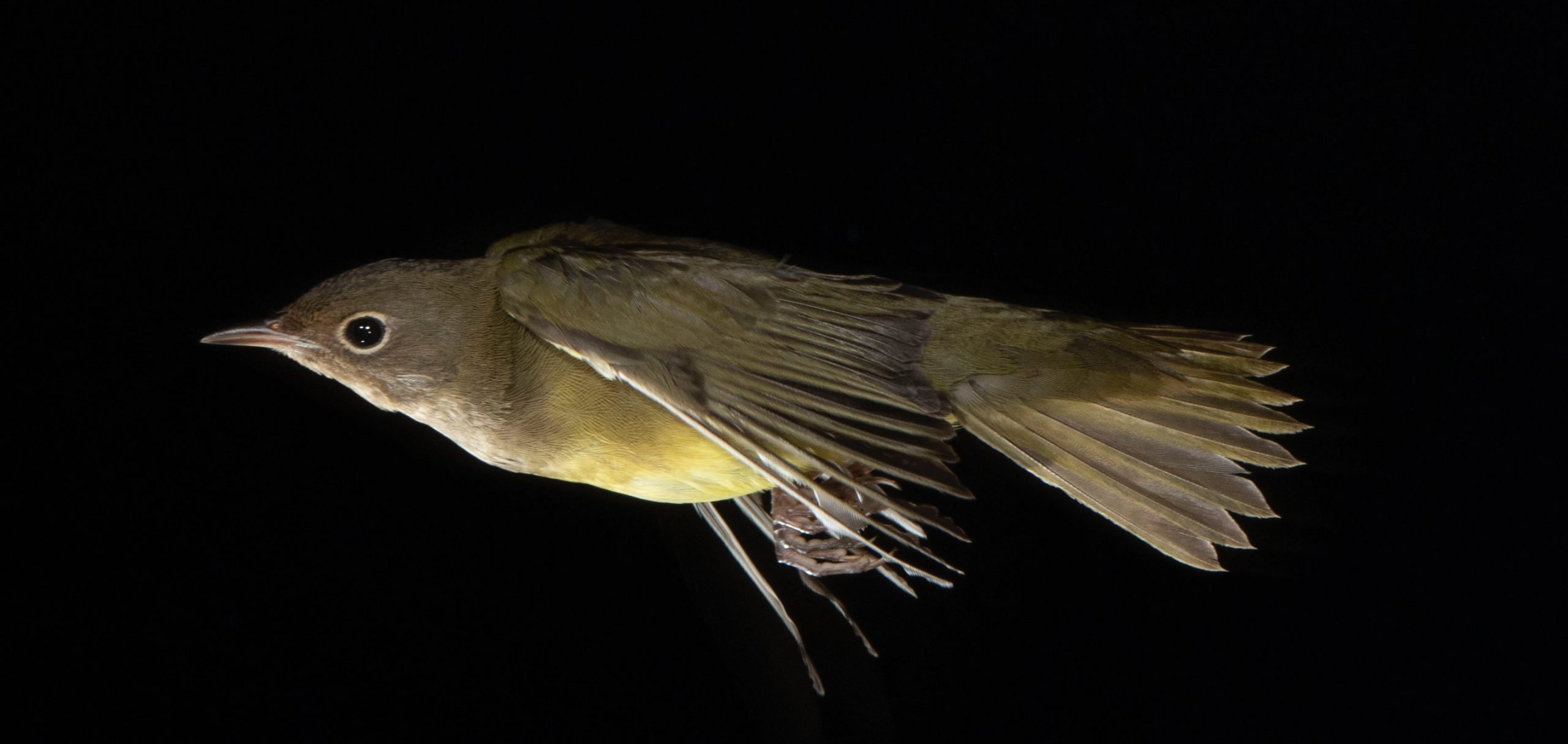 Connecticut Warbler in flight in front of a dark background