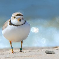 Ontario Piping Plover Technician