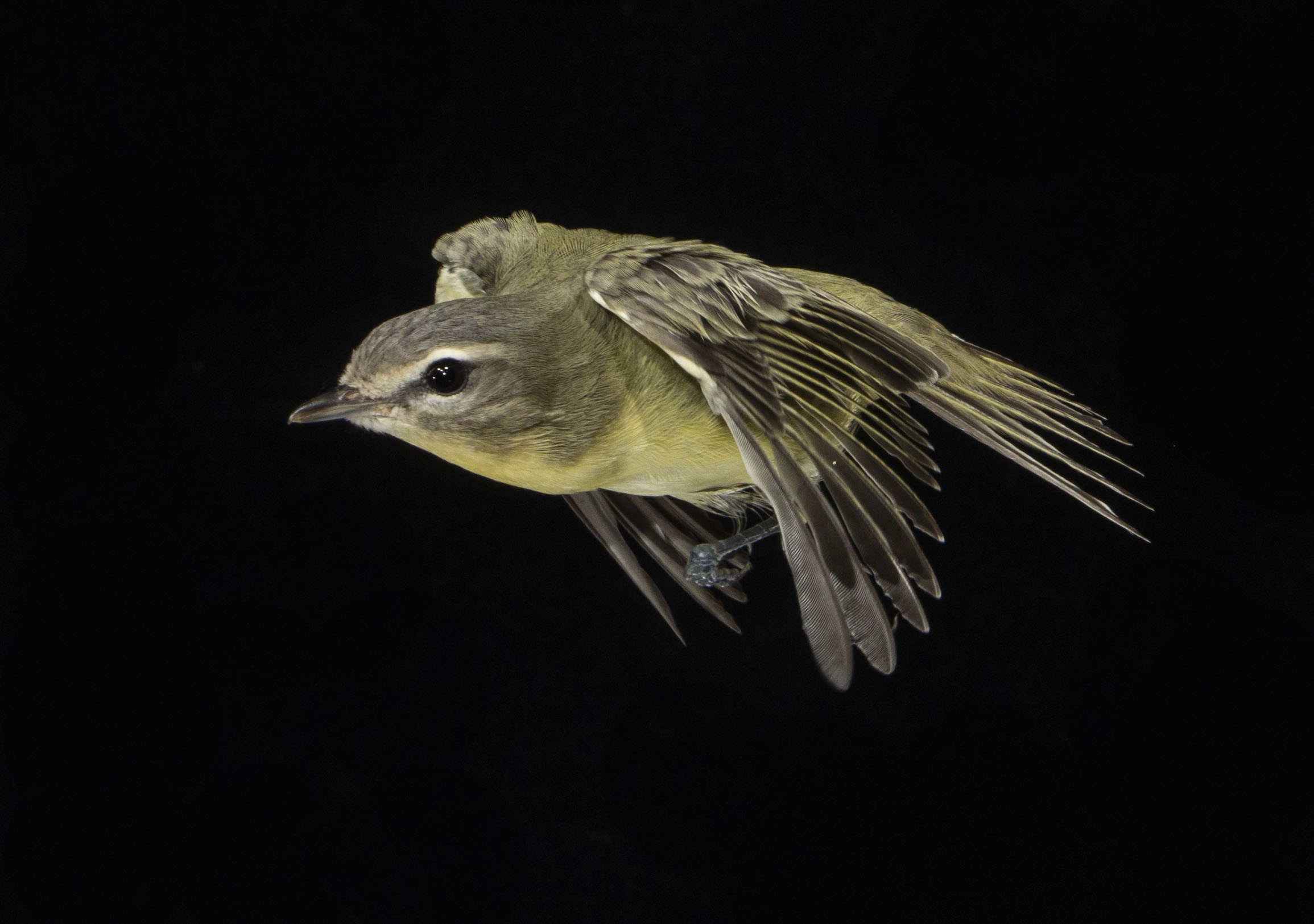 A Philadelphia Vireo in flight with a black background