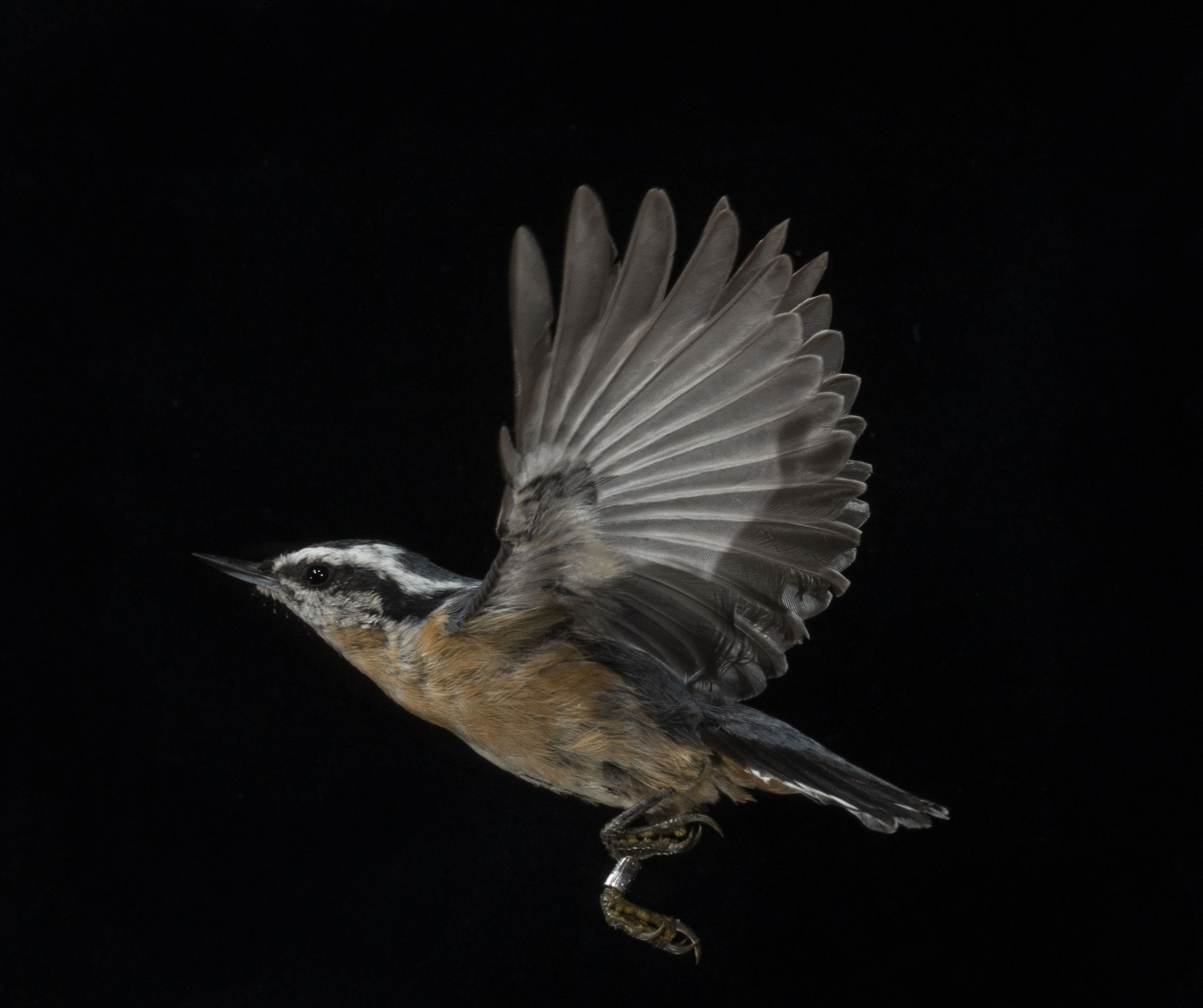A Red-breasted Nuthatch in flight with a black background