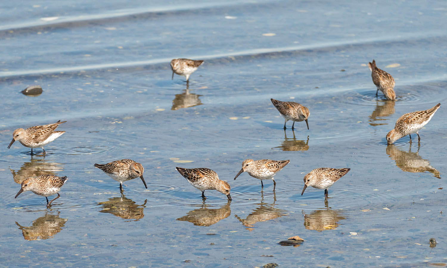A group of Western Sandpipers feeding.