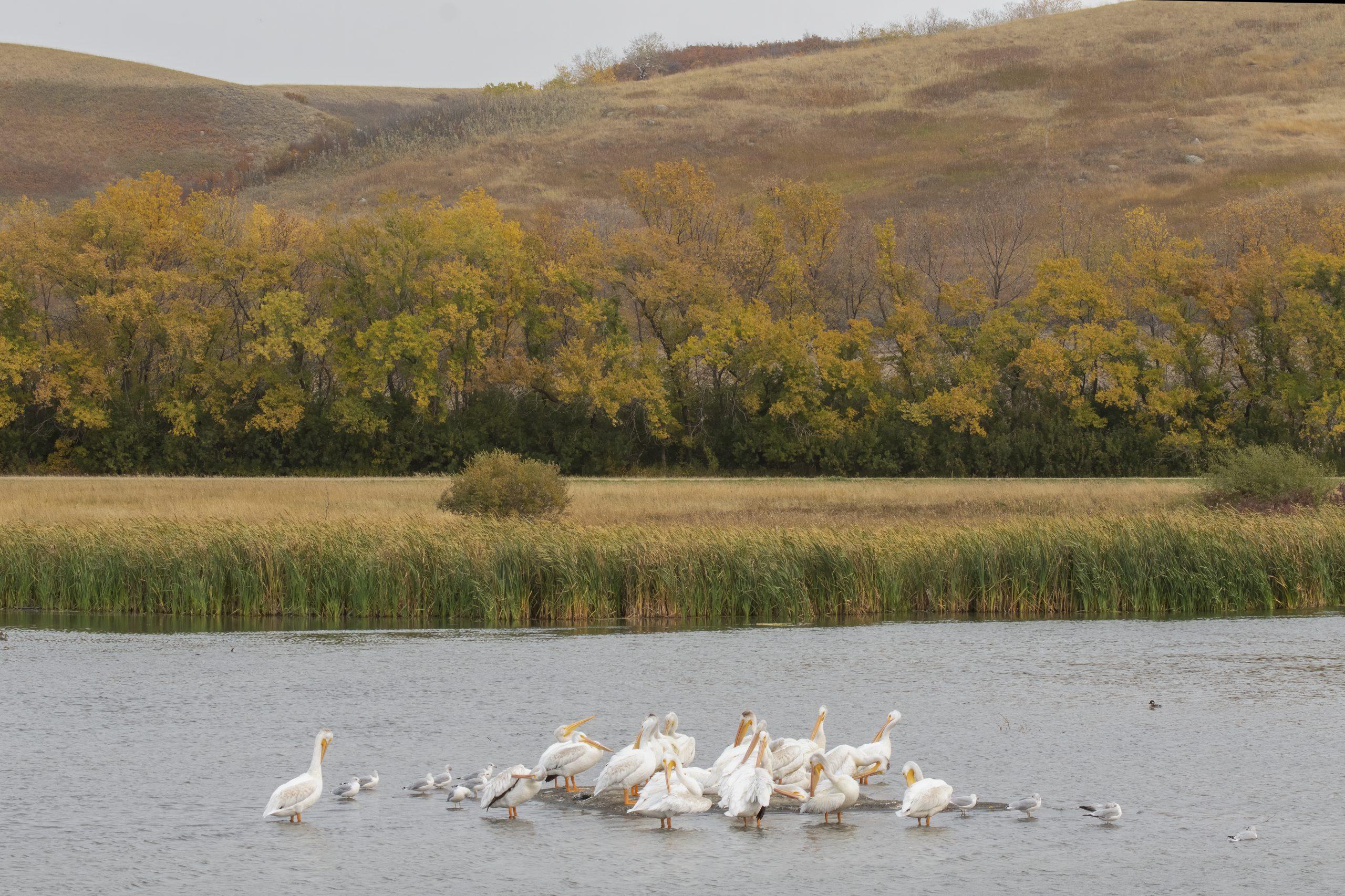 American White Pelicans, Ring-billed Gulls, and Bufflehead in a Saskatchewan Wetland