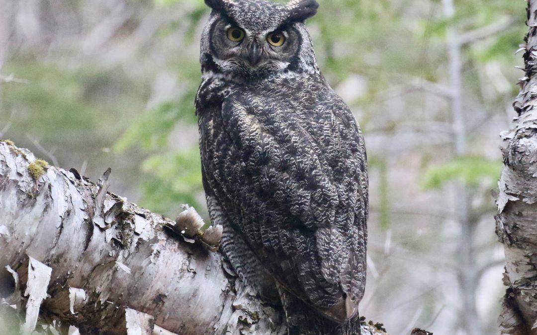 Volunteering to clarify foggy owl trends in Newfoundland