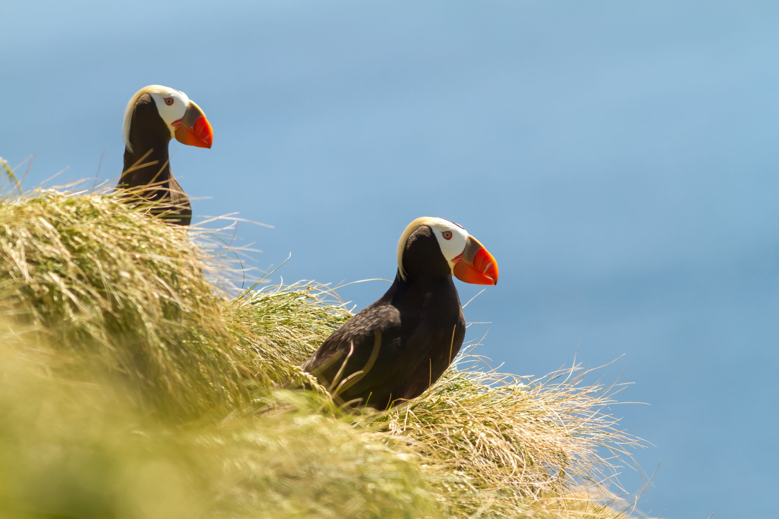 Two Tufted Puffins on a grassy island