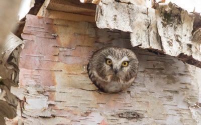 NL Nocturnal Owl Survey – Media Release