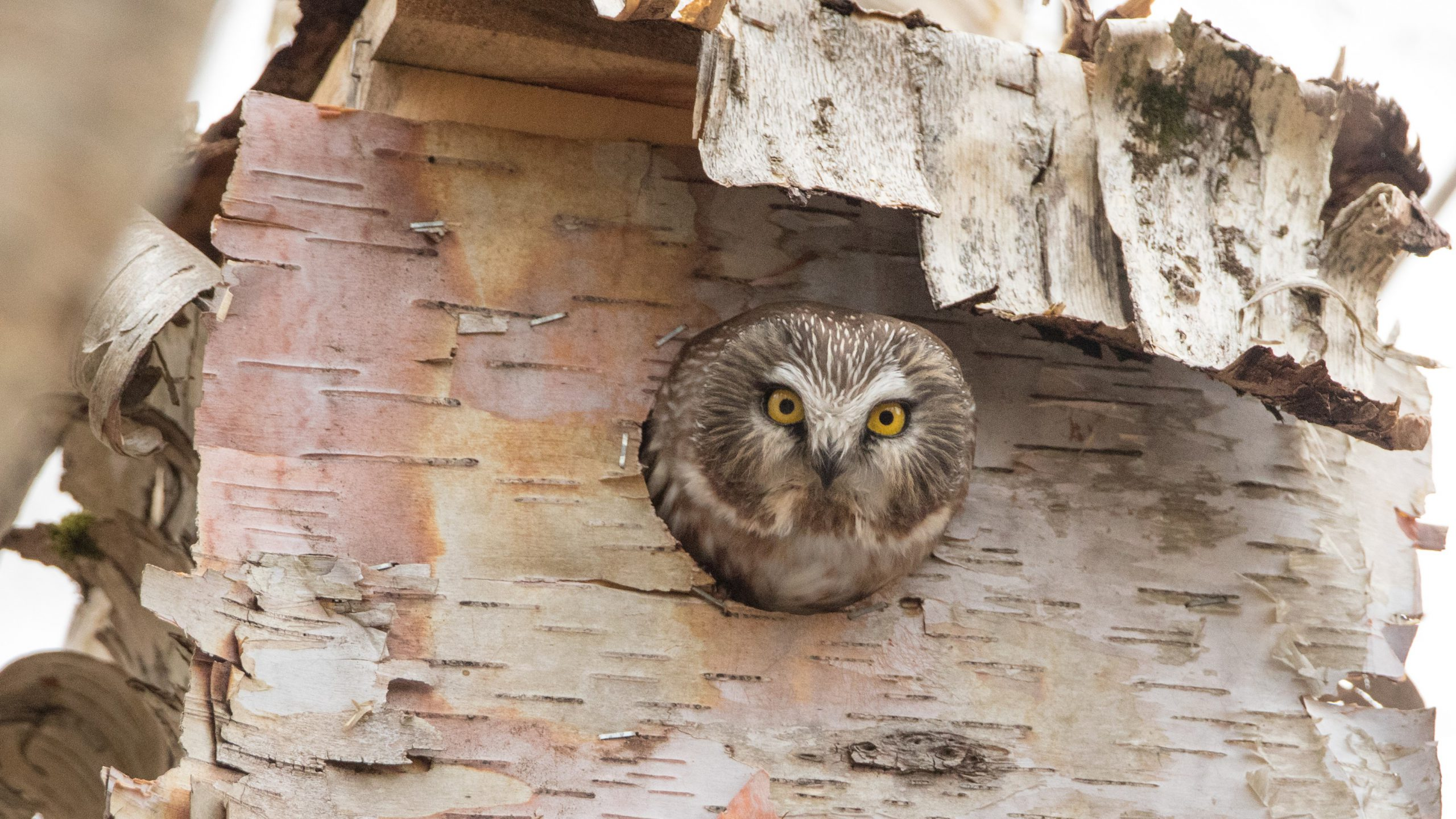 Northern Saw-whet Owl sticking head out of cavity in tree
