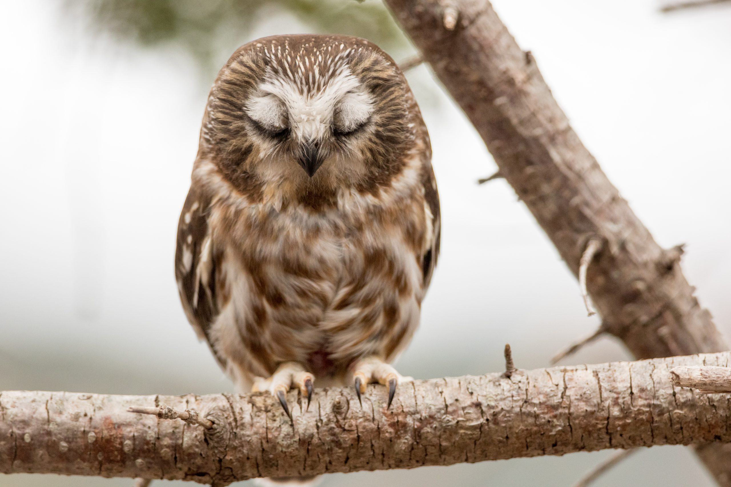 Northern Saw-whet Owl with eyes shut