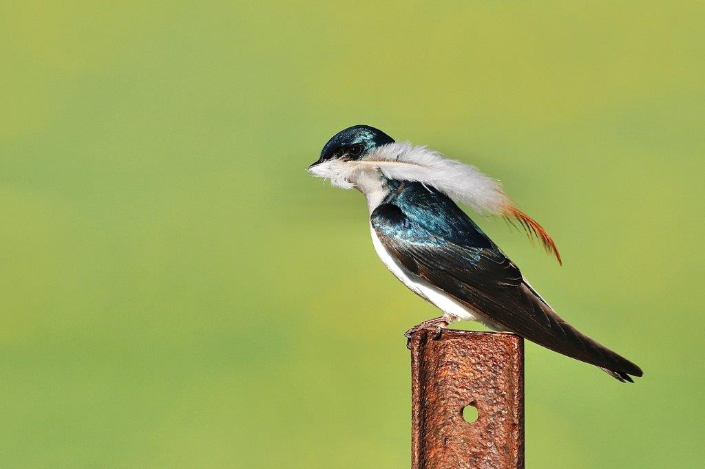 A Tree Swallow perched on pole holding a feather in its bill