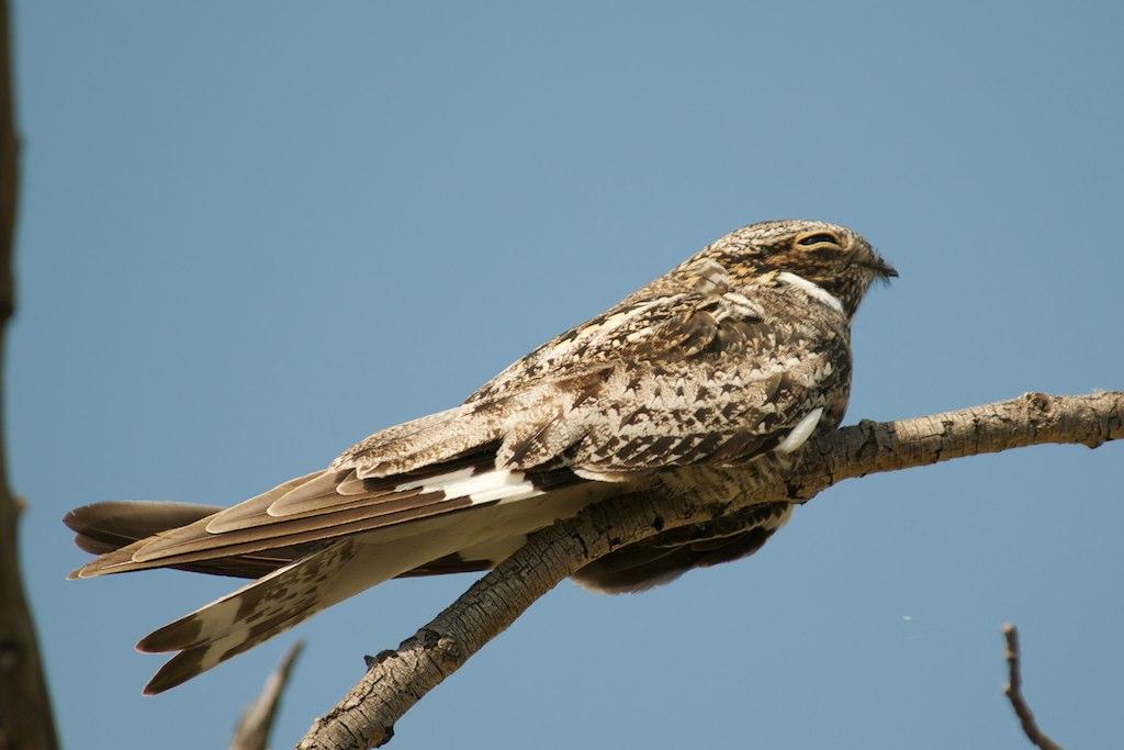 Common Nighthawk on branch