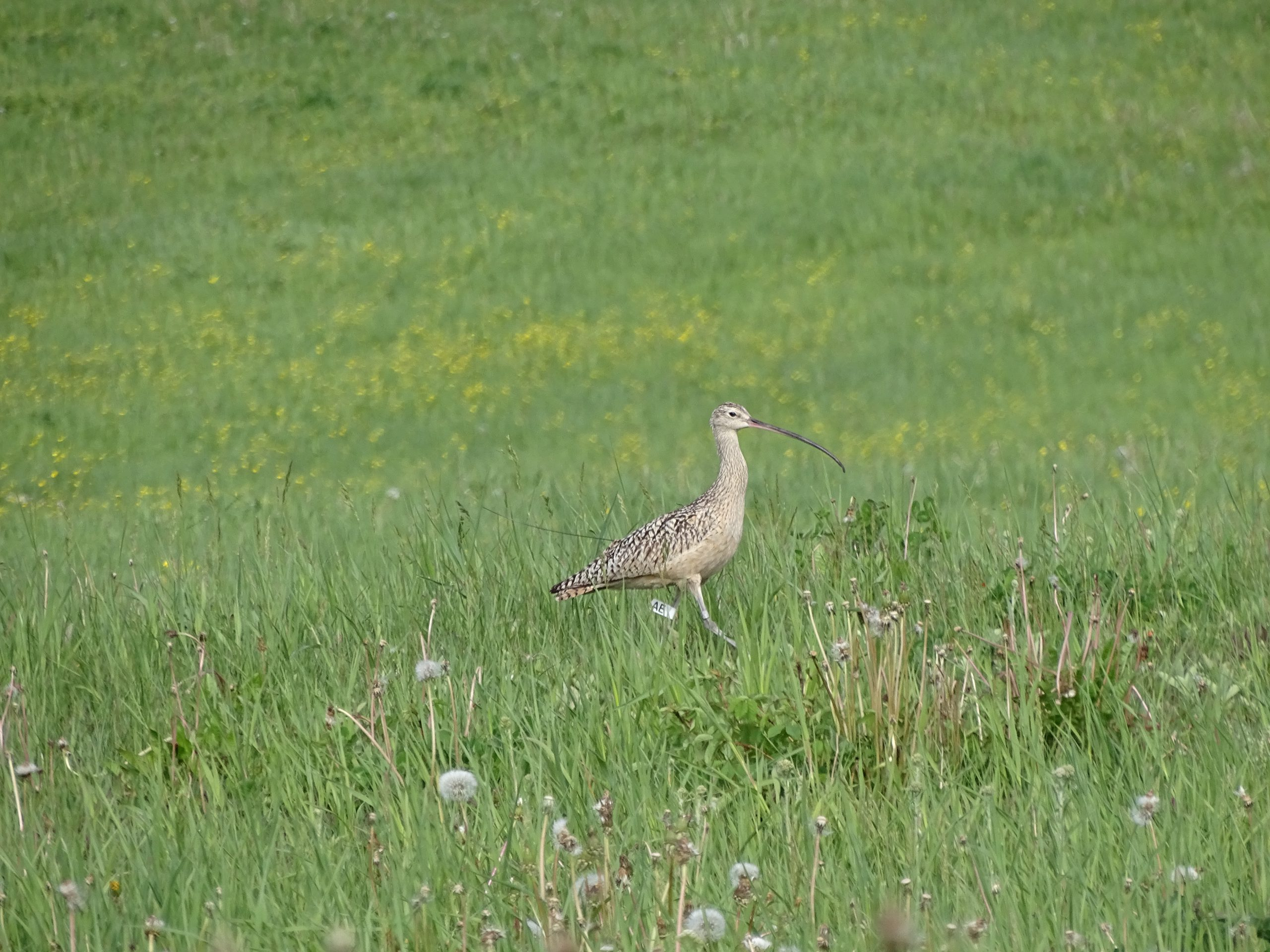 Long-billed Curlew in grassy pasture
