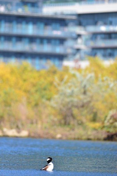 Hooded Merganser in an urban waterbody