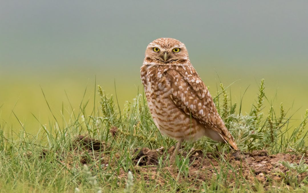 Livestock producers are powerful allies for grassland birds