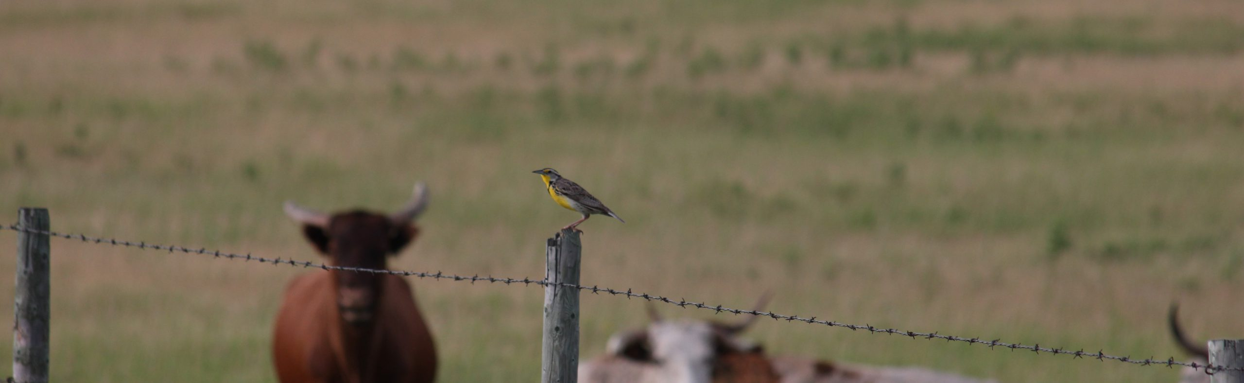 Read about Bird's Canada's new Grasslands Incentives Guide and how it will help birds.