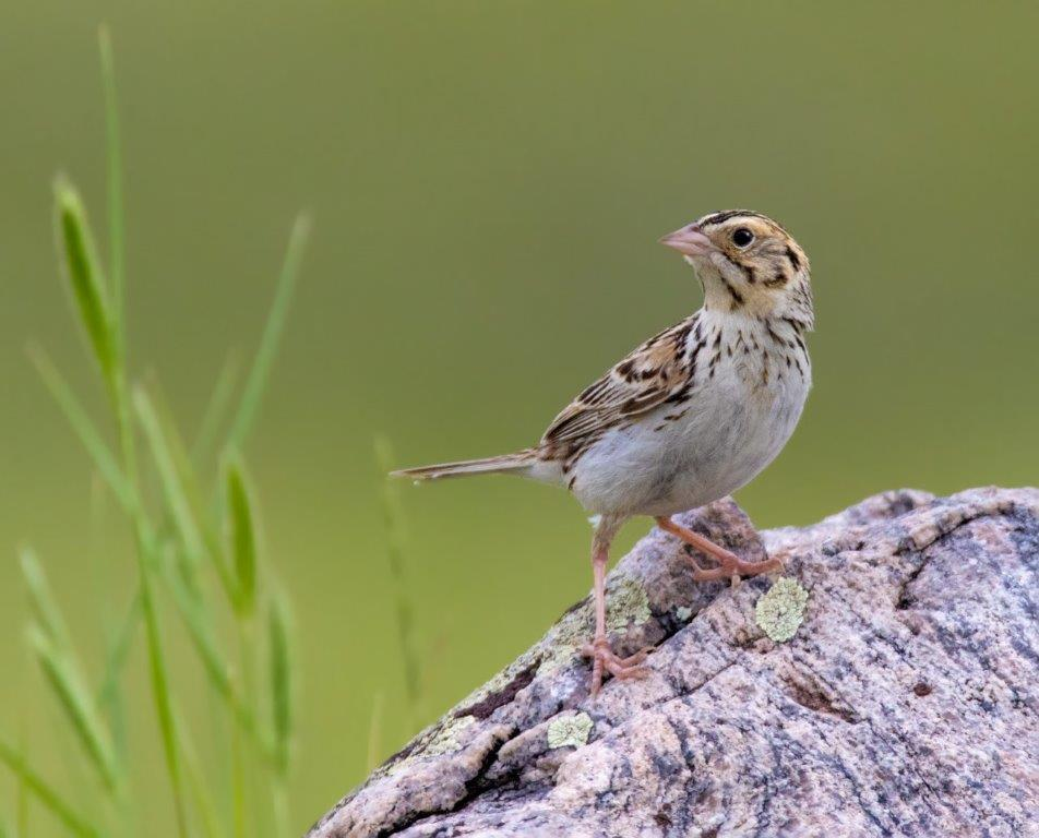 How your purchasing decisions can help grassland and prairie birds