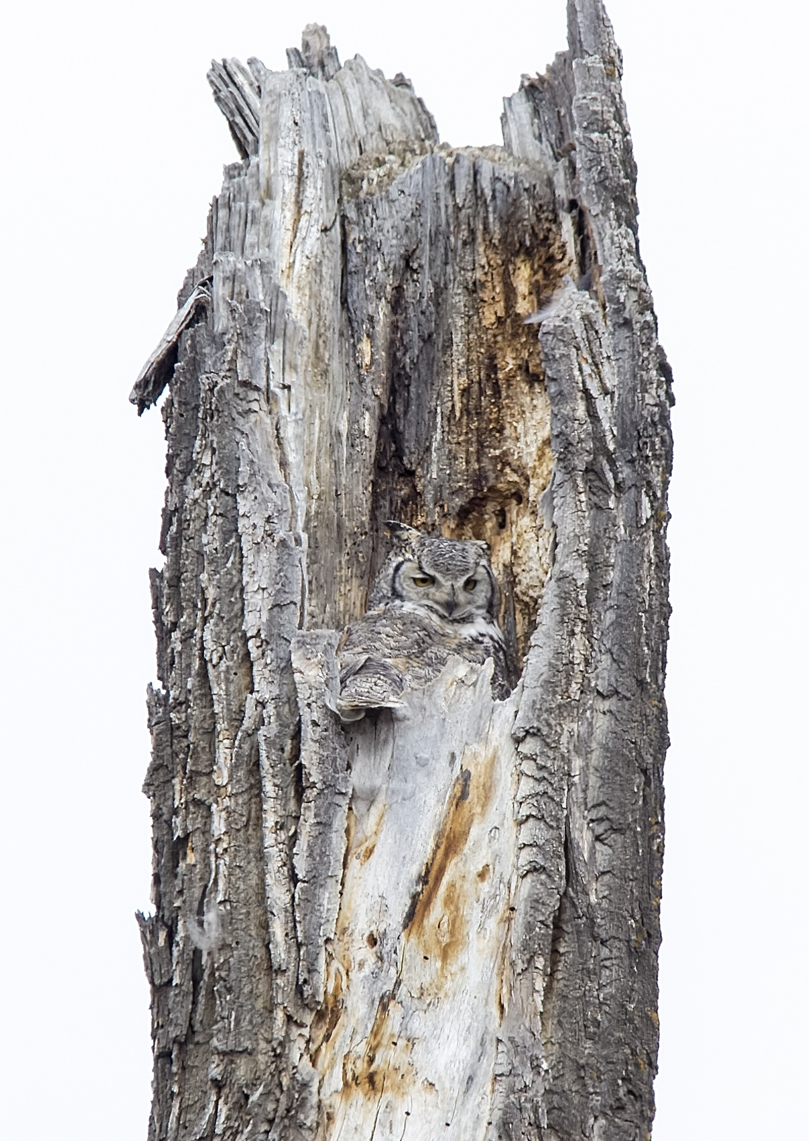 great horned owl in snag