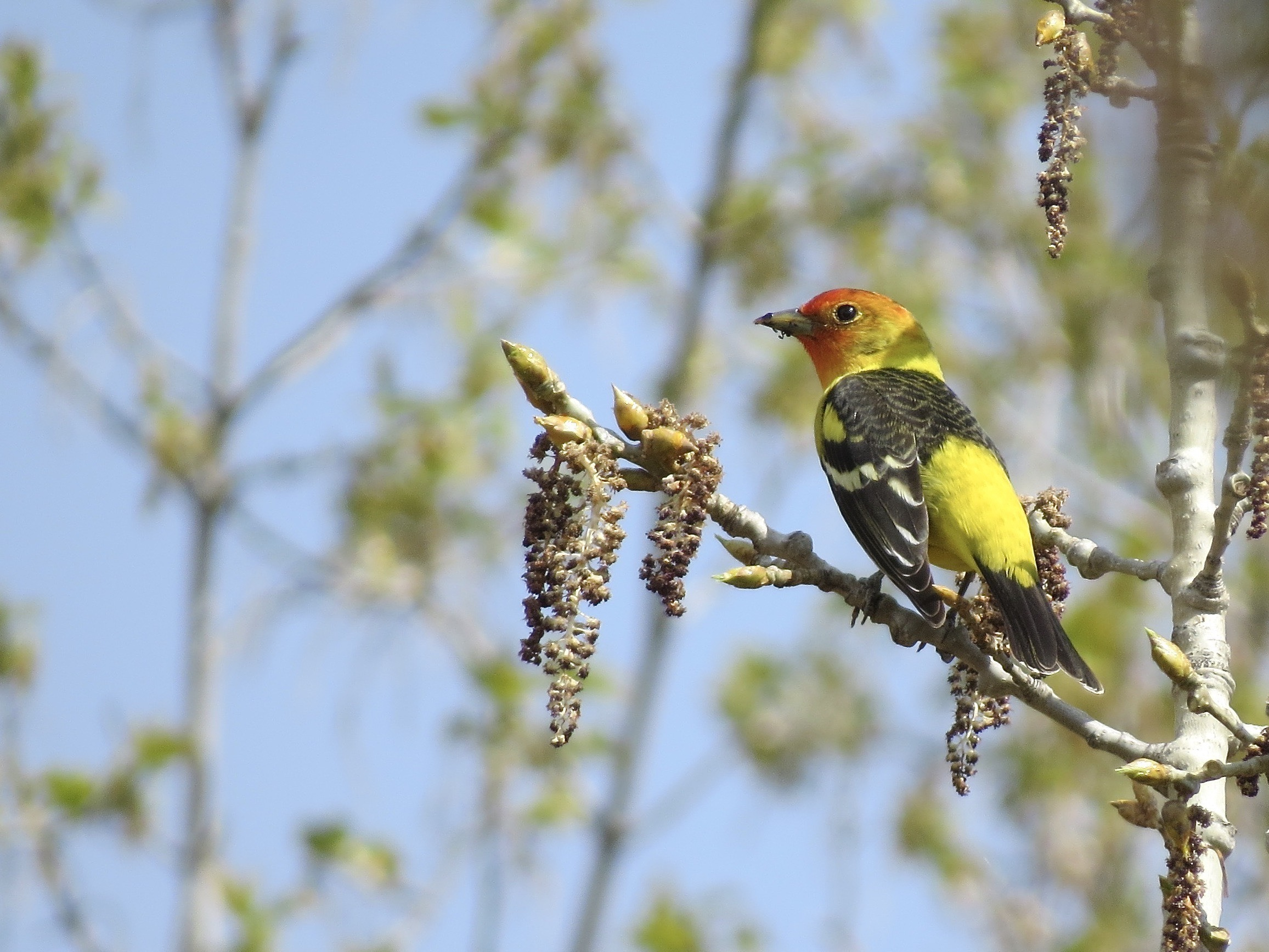 A male Western Tanager on a branch.