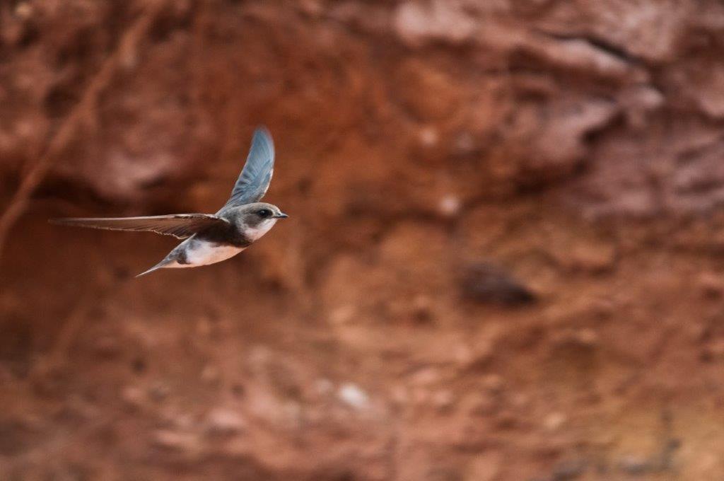 Report your sightings: Bank Swallows in Atlantic Canada