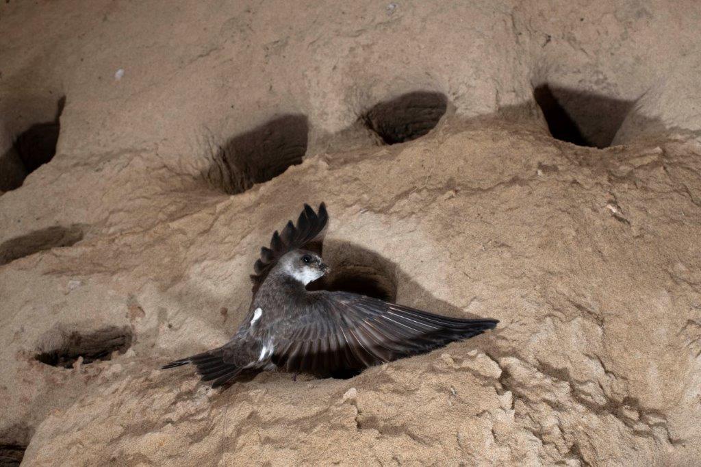 Bank Swallow Conservation Coordinator
