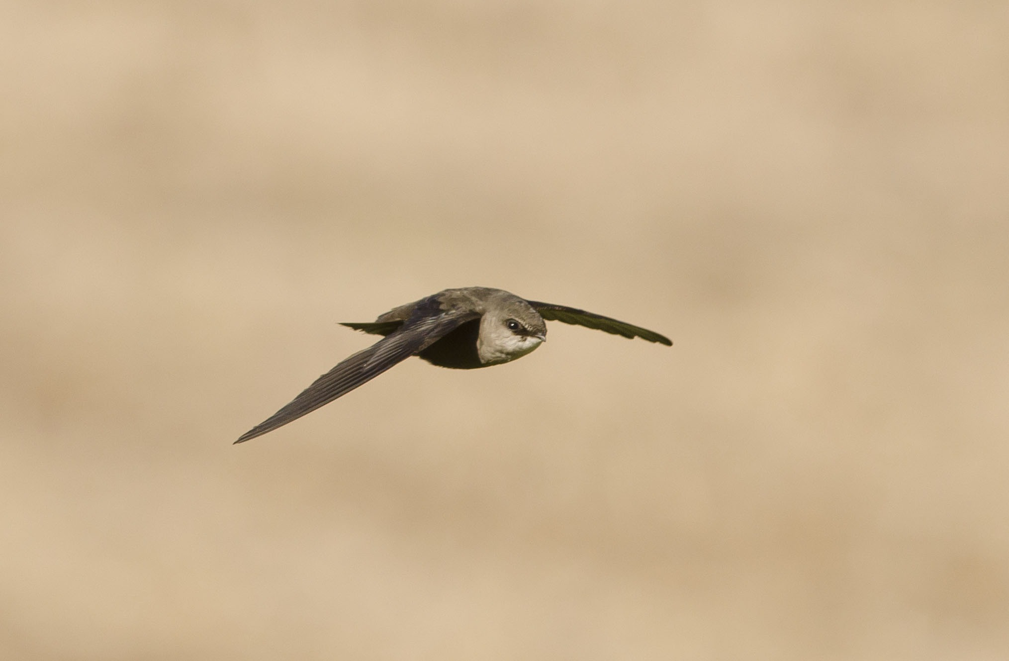 Sharing your home with swifts
