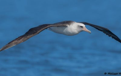 World Albatross Day focuses attention on the High Seas