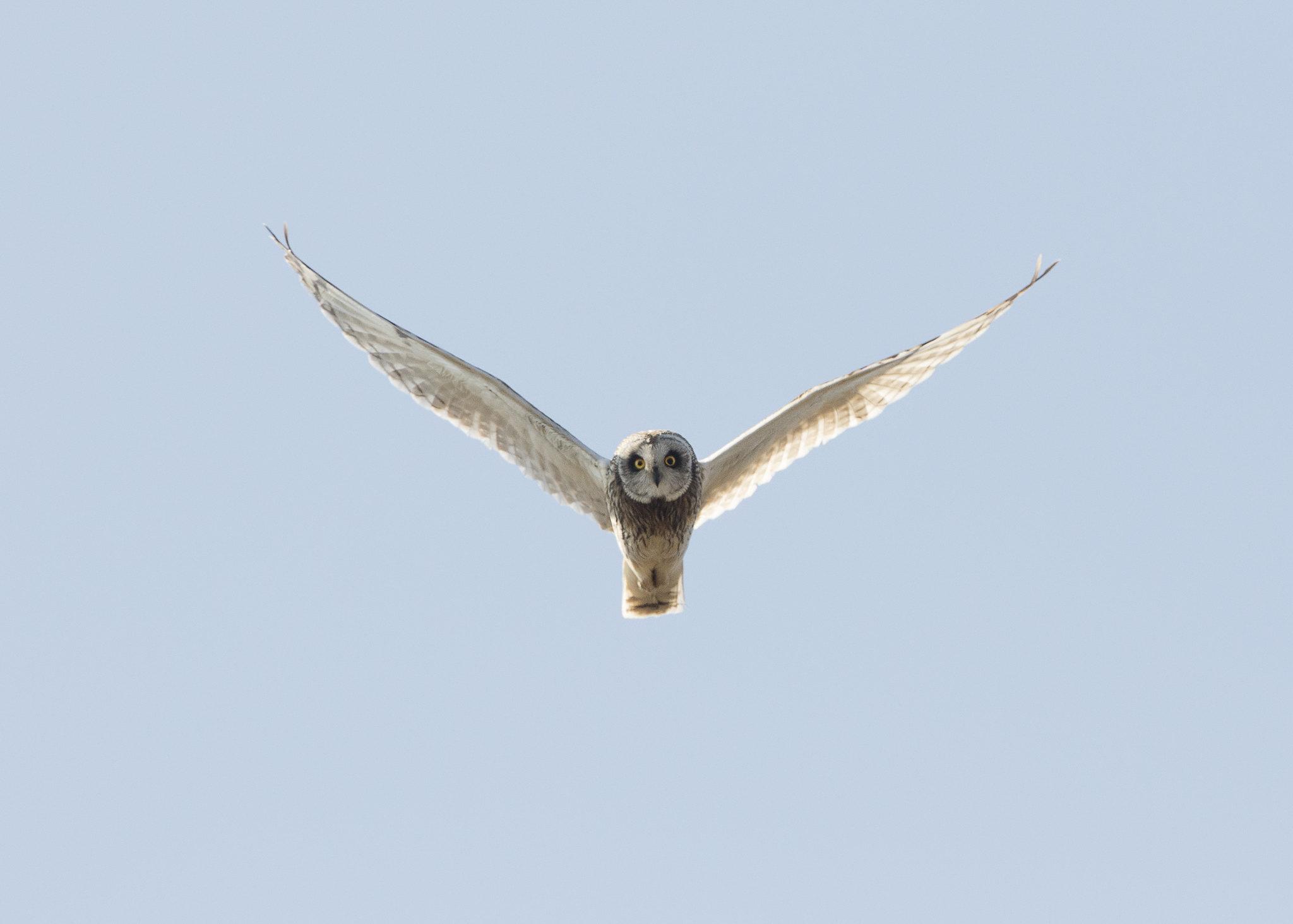 Short-eared Owl in head onflight