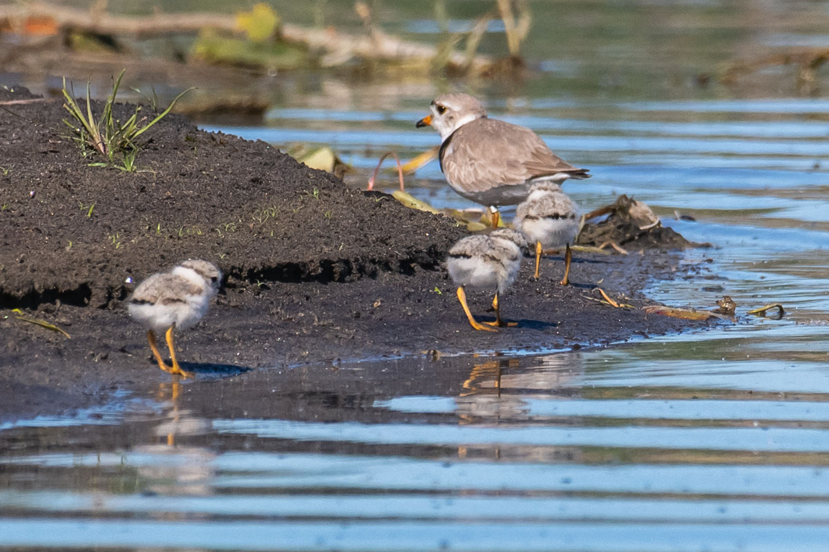 "Ontario Piping Plover nesting season saw ""power couples"" and predators"