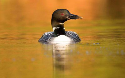 Canadian Lakes Loon Survey: New Report Helps Explain Mysterious Declines