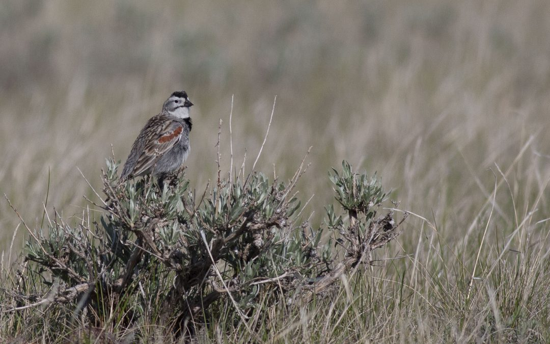 Thick-billed Longspur – an icon for change in the Canadian Prairies