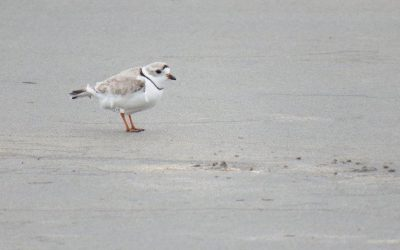 """The Amazing Adventures of Piping Plover """"HL"""""""
