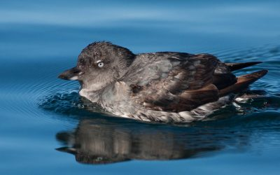 How is the oil spill off California affecting birds?